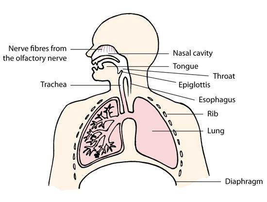 the human lungs - breatheology, Cephalic Vein